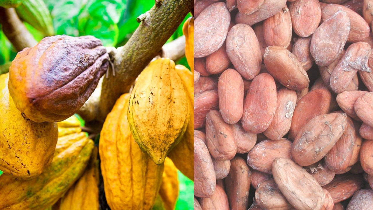 Cocoa Beans ncx
